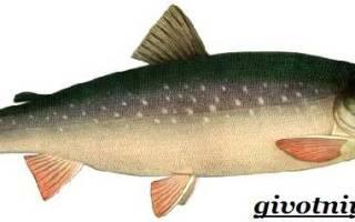 Рыба голец википедия