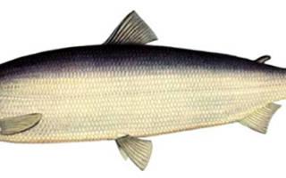 Рыба нельма фото