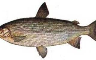 Щекур фото рыба