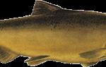 Королевский лосось