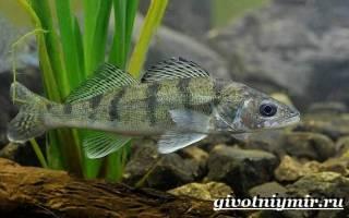Берш рыба википедия