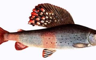 Где водится рыба хариус