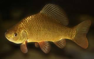 Карась рыба фото