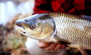 Что за рыба белый амур