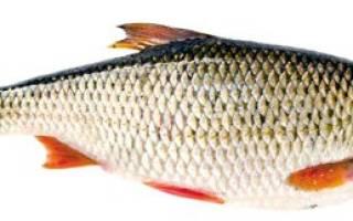 Сорожка фото рыба