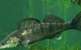Судак морская или речная рыба