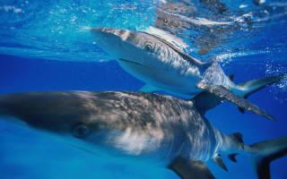 Какие акулы водятся в черном море фото