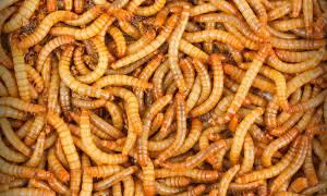 Как разводить мучных червей в домашних условиях