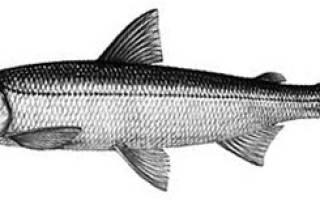 Снеток рыба фото