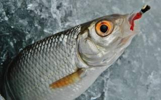 Рыба сорога фото