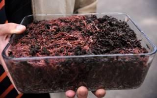 Как разводить навозных червей