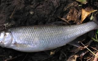 Рыба елец фото и описание