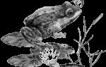 Квакушка лягушка