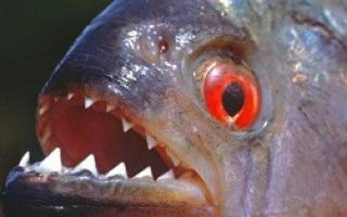 Рыба похожая на щуку