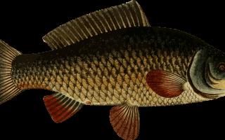Карп это речная или морская рыба