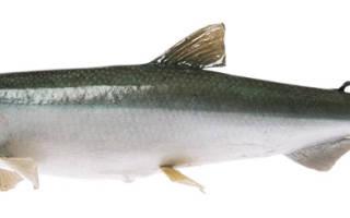 Что за рыба корюшка