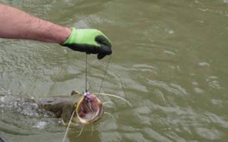 Ловля сома на кальмара как насаживать