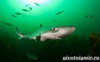 Катран акула фото